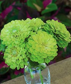 "Zinnia, Envy  HEIRLOOM. Invigorate your garden and vases with the rarest flower color of all.  HEIRLOOM. Green Zinnias in your garden make a dramatic display that words can only partially describe. 3"" double and semi-double blooms"