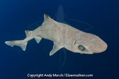 Baby Atlantic Sharpnose Shark