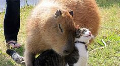 Unlikely animal friends! Meet Garibaldi the Capybara and Flopsy the kitty. They play together and nap together by the fireplace. Capybara are gentle creatures that love attention and to be petted just like their feline friends. Animals And Pets, Baby Animals, Funny Animals, Cute Animals, Funniest Animals, Wild Animals, Unusual Animals, Animals Beautiful, Unusual Pets