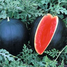Watermelon 'Blacktail Mountain' - All Fruit Seeds - Thompson & Morgan Worldwide