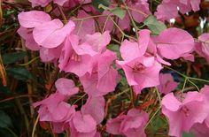 Bougainvillea Pink!