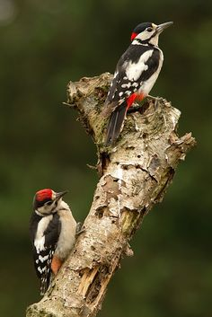 Great Spotted Woodpecker - Photograph by Tom Kruissink on All Birds, Love Birds, Pretty Birds, Beautiful Birds, Spotted Woodpecker, Unique Trees, Exotic Birds, Colorful Birds, Tier Fotos