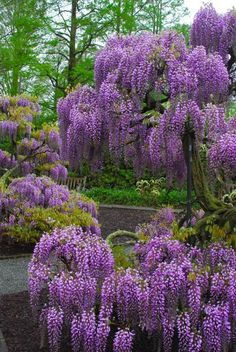 """~~Wisteria at Longwood Gardens & Thoughts on Wisteria in Small Gardens   most wisterias """"revert back to their rootstock"""" when we fail to prune away the shoots from the bottom. (Much like the growth on grafted roses.) Prune these away, and your vine will have a chance of putting more energy to produce those beautiful flowers.   Wife, Mother, Gardener~~"""