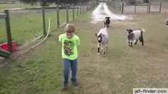 Goat Rams Little Kid | Gif Finder – Find and Share funny animated gifs..... haha I love how the kid just stands there like nothings about to happen