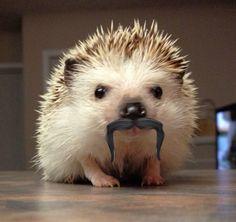 Moustachioed Hedgehog