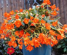 This brand-new begonia might be little, but it packs a big punch. Feisty orange flowers cover trailing, spilling branches for months during the summer, thriving through heat and humidity when other begonias melt. Mix in 'Little Lava' with herbs like basil and oregano for a versatile, edible-ornamental combination container right outside the patio door. Plant Name: Begonia 'Little Lava' Growing Conditions: full sun to part shade Size: 9 inches tall and 15 inches wide Grow it with: coleus and ...