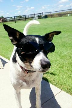 The Rat Terrier is really a well-muscled dog with a deep chest, robust shoulders, solid neck and potent legs. Rat Terrier Dogs, Boston Terrier, I Love Dogs, Puppy Love, Rat Toys, Toy Dog Breeds, Little Giants, Whippet, Rats