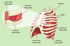 The intercostal muscles allow ribs to move while breathing Muscles Of The Neck, Anatomy Images, Posture Exercises, Anatomy Sketches, Muscle Anatomy, Anatomy And Physiology, Human Anatomy, Muscle Fitness, Study Motivation