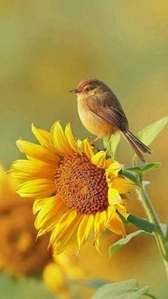 Sunflower Pictures, Bird Pictures, Nature Pictures, Pictures Of Flowers, Color Pictures, Cute Birds, Pretty Birds, Beautiful Creatures, Animals Beautiful