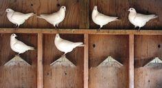 Steven Vlaun's white racing pigeons