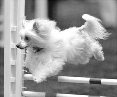 Chinese Crested leaping in an event.