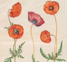 Poppies by Hans Simon Holtzbecker Botanical Drawing Art And Illustration, Illustrations Posters, Birthday Greeting Cards, Greeting Cards Handmade, Card Birthday, Birthday Greetings, Botanical Drawings, Botanical Prints, Stock Character