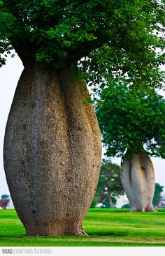 The Toborochi Tree - we must meet, so cute