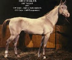 Cream (smokey) -  Black + 2 Cream genes   A smoky cream Akhal Teke. Notice how his points are still a darker shade than the rest of the body.