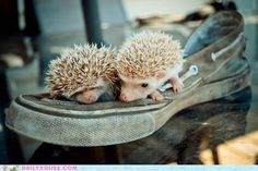 """An African Pygmy Hedgehogs scientific name is Atelerix meaning """"ineffective fighter. Its species name is Albiventris meaning """"White belly"""". Together that means """"ineffective fighter with a white belly""""......The most common species of pet hedgehog is the African pygmy hedgehog. An APH is a mix of the white-bellied/ four-toed hedgehog and the Algerian hedgehog."""