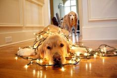 Deck the dogs...  Here's a golden for you @Susie Hamlin
