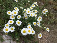 No hay que despreciar  las plantas silvestres que crecen en el jardín.