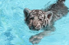 USDA complaint alleges Dade City zoo offering 'Swim with Tigers' mistreated animals Baby Animals, Cute Animals, Baby Tigers, Tiger Cubs, City Zoo, Dade City, Baby Swimming, Majestic Animals, Marine Life