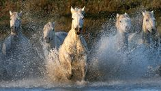 camargue horses in the south of france. wildlife photography