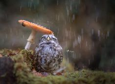 Poldi, a 1 year old little owl (Athens noctura). He's the pet of Tanja Brandt, the photographer. I've yet to see a photo of a little owl who doesn't look adorable. They're the cutest owls . Photo Animaliere, Rain Photo, Little Owl, Little Pets, Photoshop, Animal Photography, Nature Photography, Umbrella Photography, Perfectly Timed Photos