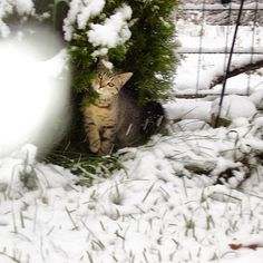 .....is it dinnertime yet? ... old photo of a young Mollycat having her first encounter with snow. #coldfeet #winteriscoming #dilemma #weather #snow #firstsnow #firstencounter #instalike #instacat #cat #kitten #young #cold #snö #lumi #finland #catsofinstagram #catsofworld #cats #mollycat #mollycatfinland #kitty #pets #catlover #firststeps #steppingout #winter
