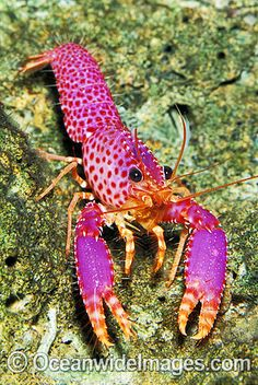 Violet-spotted Tropical Reef Lobster | OceanWideImages