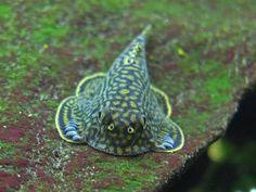 Sewellia lineolata, reticulated hillstream loach, butterfly fish (1) It's a Loach! Feed 'em HIKARI MINI ALGAE WAFERS