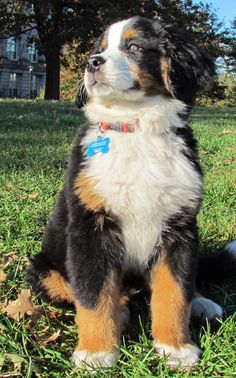 Puppy Breed: Bernese Mountain Dog  My name is Charles and I live in Charlestown, Massachusetts. I am originally from Germany and was flown over with my other brothers when I was just about nine weeks old. My interests include walks, treats, naps, and chewing on anything I can get my paws on. I am a happy and healthy puppy and bring a smile to everyone that I meet.