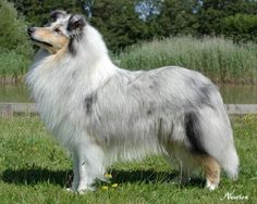 Rough Collie photo | Collie (Rough) Dog Profile of Eng CH Ladnar Maid Sweet JW.