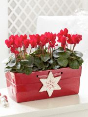 Choose a festive red container to enhance these wonderful flowers for Christmas.  www.powerscourt.ie/garden-pavilion