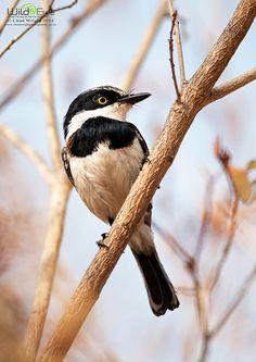 Chinspot Batis | by Chad_Wright