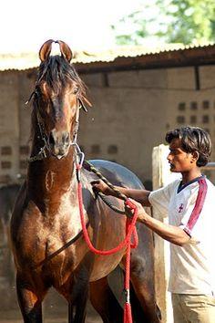 Marwari, awesome breed of horse