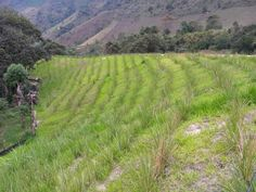 Well done, Bioingenieria de Suelos, Colombia1 Soil Conservation, Grass, Vineyard, Around The Worlds, Plants, Pictures, Outdoor, Erosion Control, Permaculture