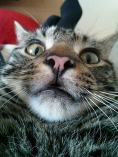 "This is Winston, and he has the ""surprised"" selfie down to a science. #cats #selfies"