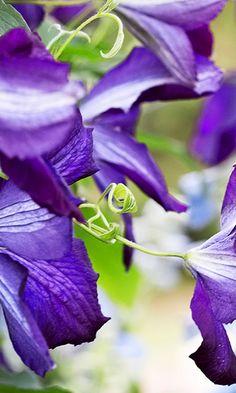Kauniskukkainen kärhö nauttii auringosta | Meillä kotona