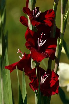 exotic flowers for sale All Flowers, Flowers Nature, Exotic Flowers, Amazing Flowers, Beautiful Flowers, Gladiolus Flower, Gothic Garden, Flower Pictures, Trees To Plant
