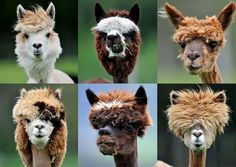 Fashioned Alpacas  Freshly shaved alpacas are seen at Alpaca-Land farm in Goeming in the Austrian province of Salzburg. The annual shearing of Alpacas is done in the spring to make the animals more comfortable for the summer months, and it gives them plenty of time to grow a thick new coat before winter. (Kerstin Joensson/Associated Press)