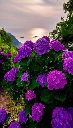 My inner landscape: Photo Hortensia Hydrangea, Hydrangea Garden, Hydrangea Flower, Amazing Flowers, Purple Flowers, Beautiful Flowers, Blossom Garden, Blossom Flower, Beautiful Landscapes
