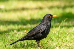 Male Blackbird Taken on Queens Park, Bolton. Blackbird, Queens, Birds, Park, Nature, Animals, Naturaleza, Animales, Animaux