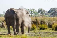 Elephant in the Okavango Delta from Xugana Island Lodge Okavango Delta, Safari, Elephant, Island, Photos, Animals, Pictures, Animales, Animaux