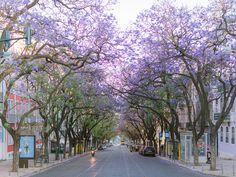 Jacaranda purple trees blooming in Lisbon, Portugal Purple Trees, Lisbon Portugal, Algarve, Engagements, Destination Wedding Photographer, Couple Photography, Bloom, Street View, Travel