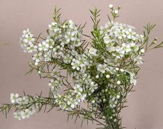 FlowWax WHITE HYBRID (Alba,Pearl, Muellingbrook White) WAXWHLARGE Price for bunch - $12.50  8 stems in a bunchers.