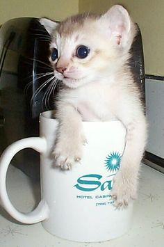 Singapura kitten. Precious!