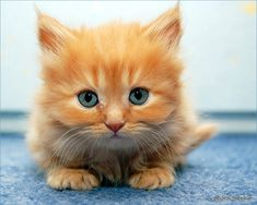 Our third pets were orange kittens just like this one we found abandoned in an old Oldsmobile my grandparents owned. We kept two of them.