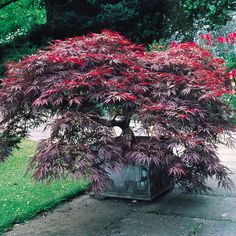 Shop Acer palmatum Dissectum Garnet at J Parkers. Identical leaf formation to the Acer Dissectum but with deep purple leaves. Height Japanese Maples are a must have ornamental garden plant. Available to buy online in the UK. Garden Shrubs, Garden Trees, Shade Garden, Trees To Plant, Garden Plants, Acer Palmatum, Small Gardens, Outdoor Gardens, Pruning Japanese Maples