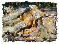 Iguana Sanctuary - Manzanillo, Colima - Great spot to take the kiddos!