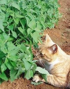 Although catnip is most widely used in toys for kitty, it can also be used in salads as a green or for a relaxing tea.