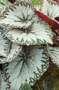 Easy To Grow Houseplants Clean the Air Begonia Imperialis Silver Lace Ma Collection De Begonias Botaniques Botanical Flowers, Flowers Nature, Beautiful Flowers, Coleus, Cactus Plante, Plantas Bonsai, Belle Plante, Palm Plant, Foliage Plants