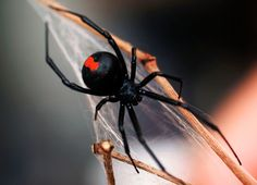 Redback Spider - loves warm, covered areas to nest. Favourite place is under the rim of my wheelie bin.
