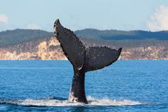 See humpback whales frolicking at Hervey Bay © wallaby / Shutterstock